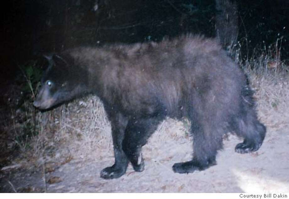 This is a photo of one of the bears taken by a remote camera that Bill Dakin set up to take photographs of wild life that visit a pond on his property. Many different were coucgh on film as they walk past.  Bears have been devouring the fine grapes grown by Aetna Springs Vinyard in the remote Pope Valley and the owner isn't putting up with it. He has hired federal trappers who, to date, have killed four black bears. At least one neighbor, and bear lover, is furious, and believes many more than just those four have been killed. He said the valley has been denuded of the majestic beasts, all because the owner of a vinyard is too cheap to put up an electric fence or use other equally effective methods.�� Kurt Rogers ANGWIN SFC  The Chronicle Photo: Kurt Rogers