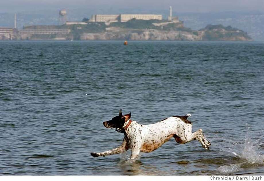 "feature_0002_db.jpg  ""Abigail"" a female German Shorthaired Pointer, 5-years-old, belonging to Laura Lane of San Francisco, retrieves a tennis ball in the bay on Christmas Eve near Crissy Field.  Event on 12/24/05 in San Francisco.  Darryl Bush / The Chronicle Photo: Darryl Bush"