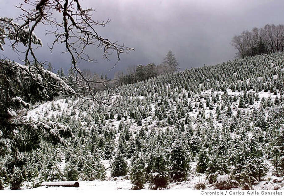 SNOW 01/C/09FEB99/MN/CG --- Mother Nature graced the Santa Cruz Mountains with a blanket of snow in the early hours of a winter storm on Tuesday, February 9, 1999. (CARLOS AVILA GONZALEZ/SAN FRANCISCO CHRONICLE) CAT Photo: CARLOS AVILA GONZALEZ