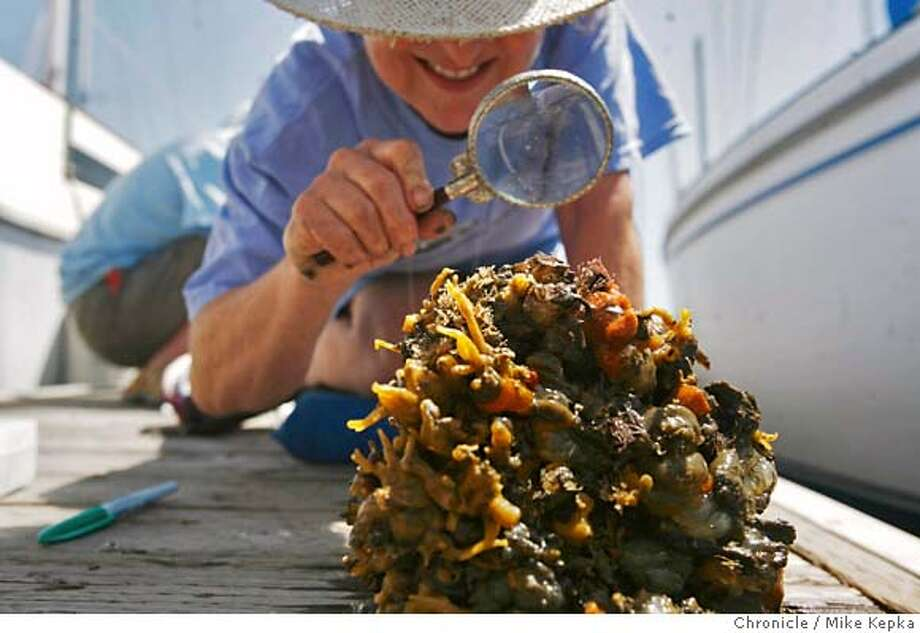 oysters000036.JPG With little luck finding an actual oyster, volunteer with Save the Bay's oyster restoration project, Nina Brunetti of Castro Valley, counts creatures found on test samples found in the Berkeley marina Wednesday 6/13/07. Mike Kepka / The Chronicle Nina Brunetti (cq) MANDATORY CREDIT FOR PHOTOG AND SF CHRONICLE/NO SALES-MAGS OUT Photo: Mike Kepka