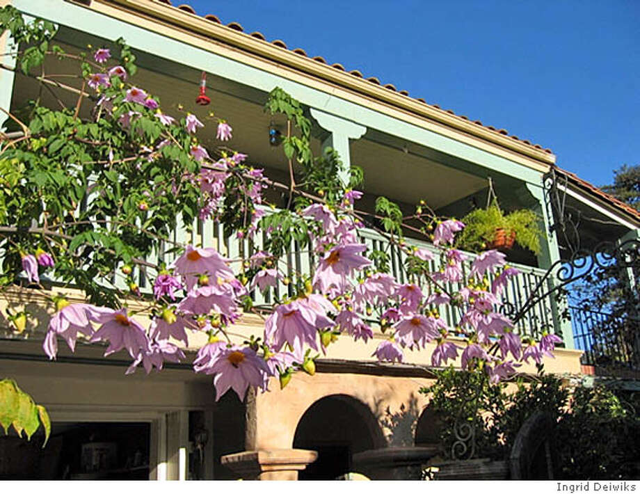 Tree dahlias brighten a balcony. Credit: Ingrid Deiwiks Photo: Ingrid Deiwiks