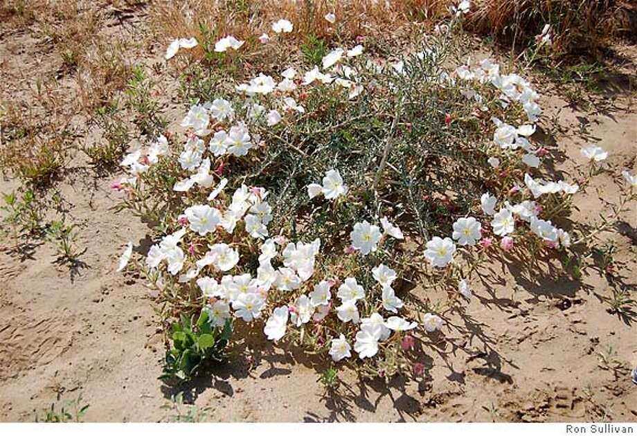 2 versions of Antioch Dunes evening primrose. Photo credit: Ron Sullivan Photo: Ron Sullivan