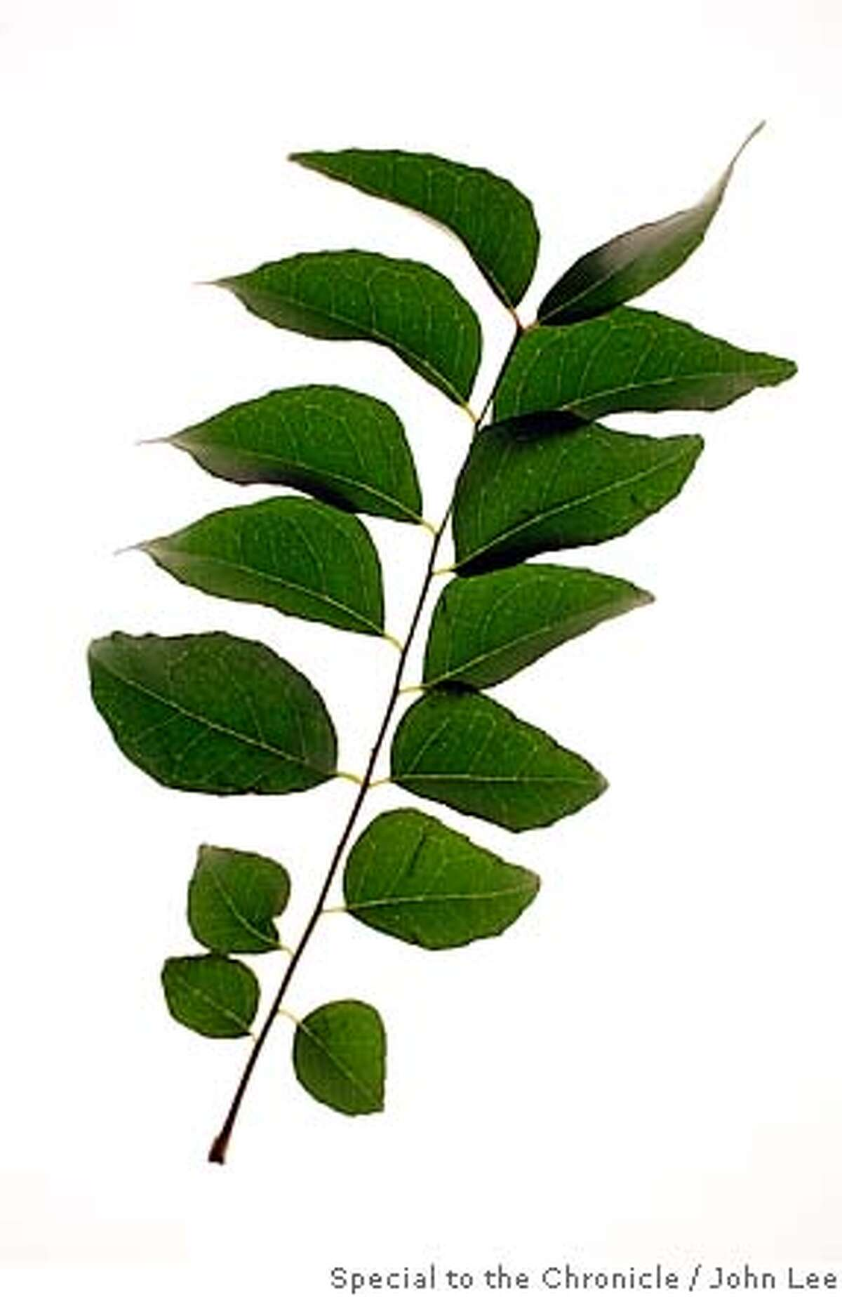 CURRYLEAVES11_02JOHNLEE.JPG Curry leaves. By JOHN LEE/SPECIAL TO THE CHRONICLE