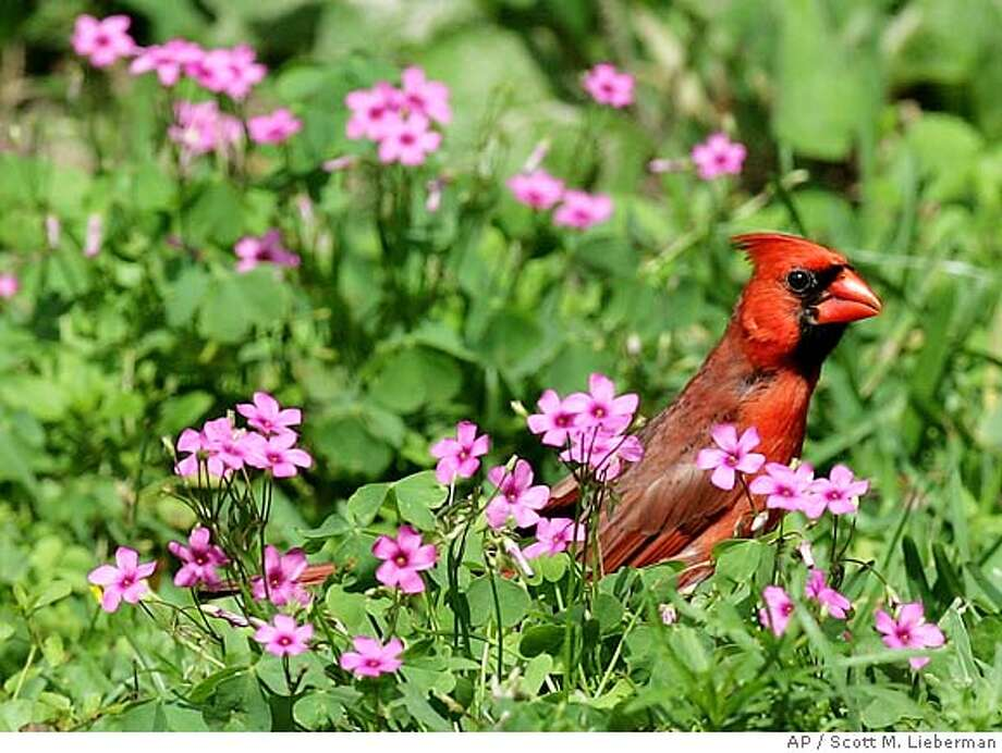 A male Northern Cardinal perches in a bed of flowers in Tyler, Texas. Associated Press photo by Scott M. Lieberman