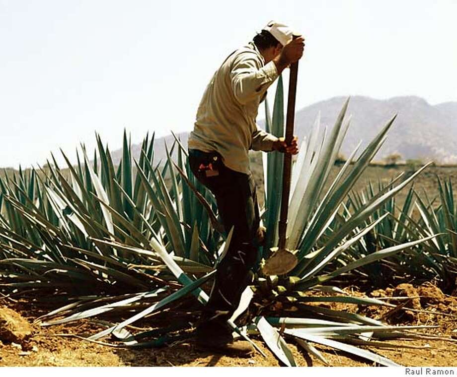 Harvesting the Blue Agave 'Heart' or La Pina. Credit: Raul Ramon Photo: Raul Ramon