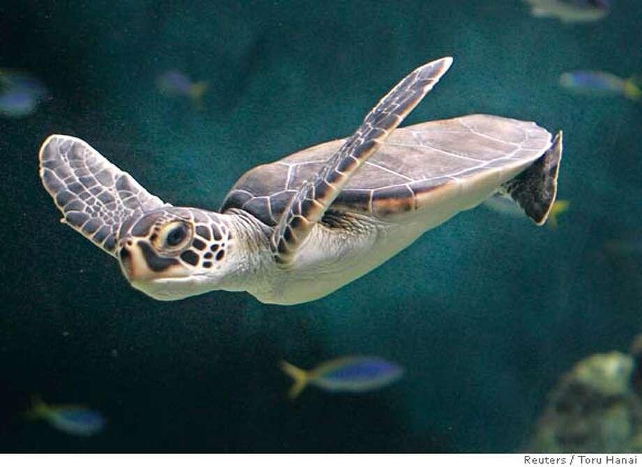 A green sea turtle swims at the Tokyo Sea Life Park in Tokyo June 3, 2007. REUTERS/Toru Hanai (JAPAN) Photo: Toru Hanai