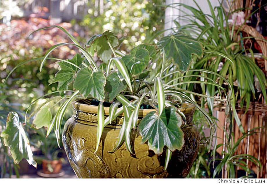 POTTED10A-C-02JUL02-HM-EL  Spider plant sna Madagascar Bigonia in a green Chinese pot at Roberta Floden's (freelancer writing the story) home in Forest Knolls. BY ERIC LUSE/THE CHRONICLE CAT Photo: ERIC LUSE