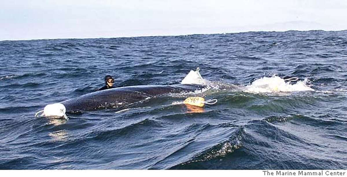 In this photo, provided by the Marine Mammal Center, an unidentified diver attempts to free a 50-foot-long humpback whale entangled in crab fishing gear near the Farallon National Wildlife Refuge in California, Sunday, Dec. 11, 2005. Commercial crab fishermen spotted the trapped whale around 8:30 a.m. Sunday and began making calls for help that eventually reached Mick Menigoz, a Novato fishing boat captain who also leads whale-watching tours, according to the fishermen and divers. Menigoz, 48, received assistance from six scuba divers and three staffers at the Marine Mammal Center in Sausalito, Calif. The group located the entangled whale around 2:30 p.m. six miles from the Farallon Islands, a chain of rocky islands about 30 miles west of San Francisco. (AP Photo/Courtsey of The Marine Mammal Center) DEC. 11, 2005 PHOTO, MAGS OUT