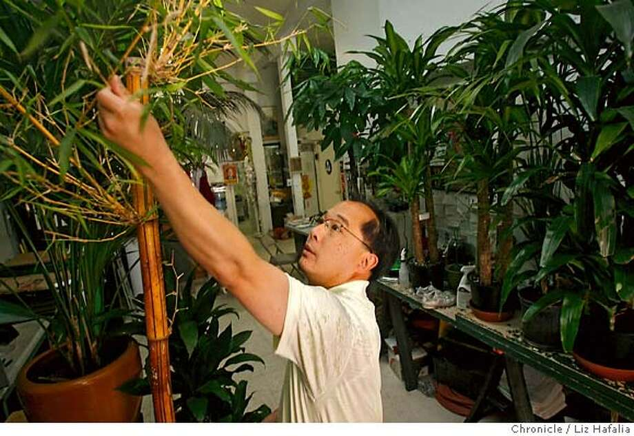 San Francisco Supervisor Ed Jew pruning a bamboo plant at his shop. The plant shop is his family business that has beenaround since 1927. He is being investigated by the FBI for a cash payment he received from businessmen facing city permit problems -- has hired a former federal prosecutor to represent him. Photographed by Liz Hafalia/The Chronicle/San Francisco/6/5/07  **Ed Jew cq Photo: Liz Hafalia
