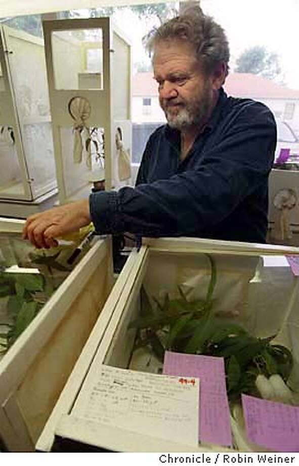 WASPS3-C-14SEP99-MN-RW Donald , professor of entomology at UC Berkeley, looks at containers of eucalyptus leaves and Psylla phaegus species (Hymenoptera) or mini wasps.  BY ROBIN WEINER/THE CHRONICLE Photo: ROBIN WEINER