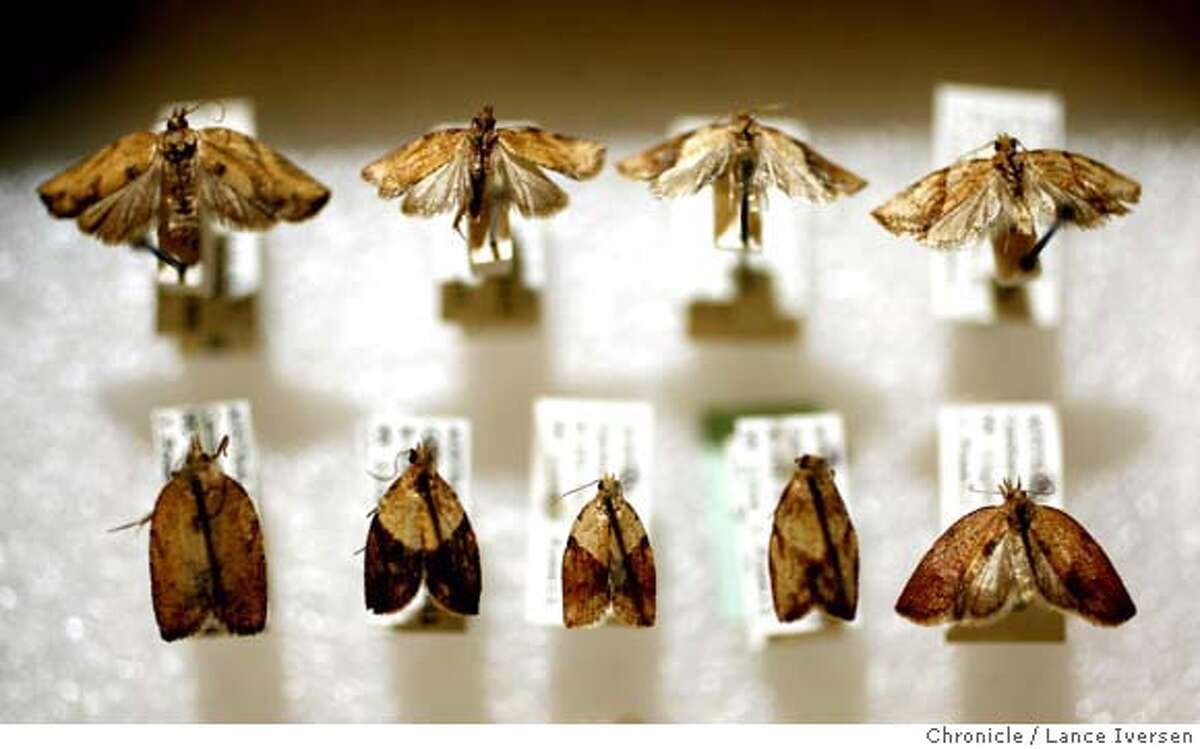 LBAM_35013.JPG Light Brown Apple Moth was first trapped in Northern California by UC Berkeley professor Jerry Powell on July 19, 2006 in his backyard, now has a large collection stored in his lab on campus. (MAY 29) (cq, SUBJECT) Lance Iversen / The Chronicle Photo taken on 5/29/07,BERKELEY, CA.