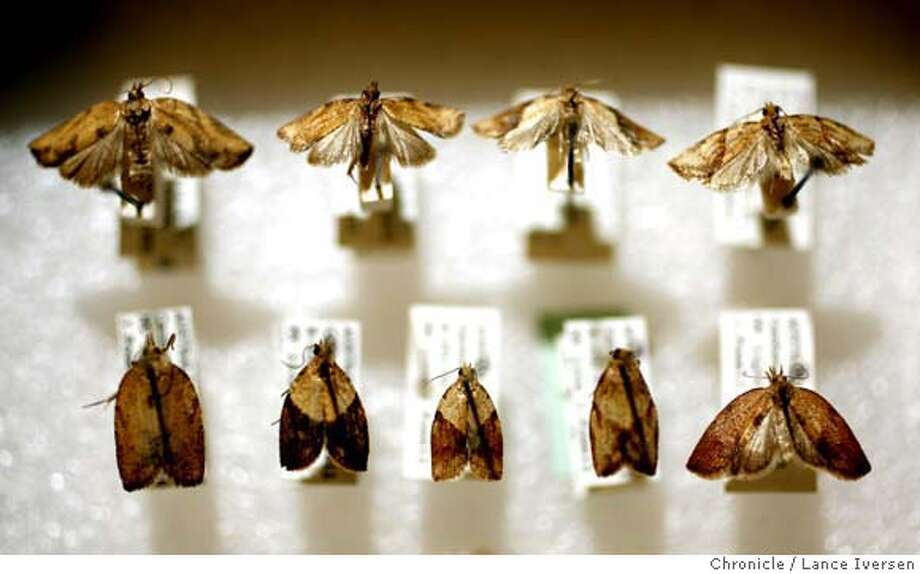 LBAM_35013.JPG  Light Brown Apple Moth was first trapped in Northern California by UC Berkeley professor Jerry Powell on July 19, 2006 in his backyard, now has a large collection stored in his lab on campus. (MAY 29) (cq, SUBJECT) Lance Iversen / The Chronicle Photo taken on 5/29/07,BERKELEY, CA. Photo: By Lance Iversen