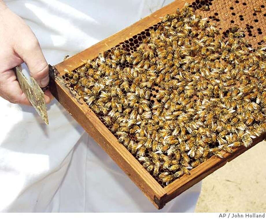 A frame full of pollinating bees is seen during a gathering at a watermelon field near Livingston, Calif., Thursday, May 31, 2007. U.S. beekeepers in the past few months have lost one-quarter of their colonies or about five times the normal winter losses. The problem started in November and seems to have spread to at least 27 states, with similar collapses reported in Brazil, Canada and parts of Europe. (AP Photo/Modesto Bee, John Holland) ** MAGS OUT, TV OUT, NO SALES **  MAGS OUT, TV OUT, NO SALES