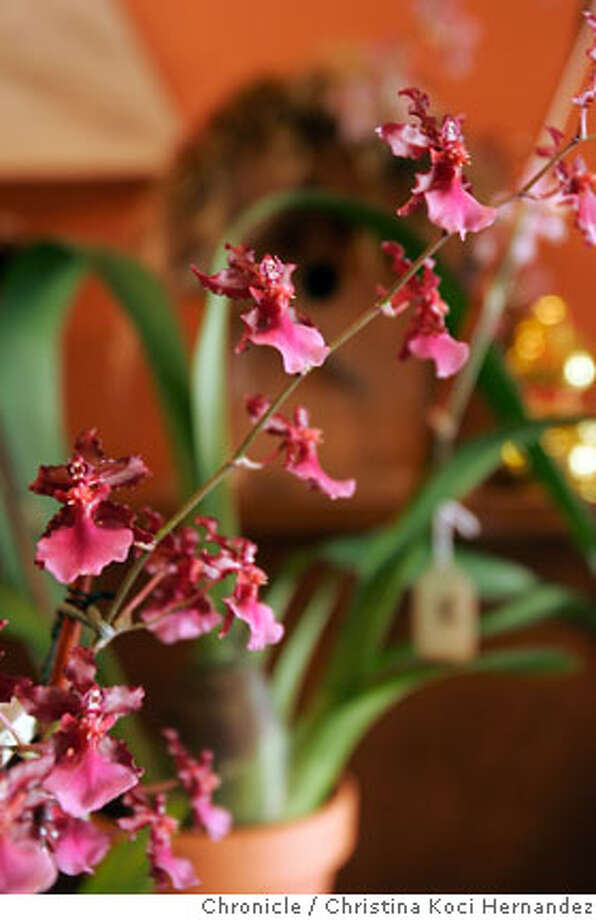 "Orchid detail, inside boutique, ""Kubu.""  Profile of Lincoln St., in san Jose. .(Christina Koci Hernandez/The Chronicle) Photo: Christina Koci Hernandez"