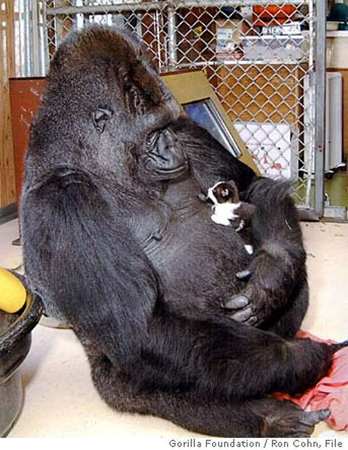 FILE-- Koko the gorilla and her kitten. Koko died at the age of 46 in her sleep. Photo: Ron Cohn