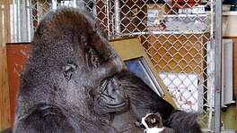 KOKO-C-02AUG00-MN-HO--Koko the gorilla and her kitten. PHOTO CREDIT: RON COHN/GORILLA FOUNDATION Ran on: 02-18-2005  Koko the Gorilla seems to smile as she looks at a kitten. Koko has had many pets during her years at the Gorilla Foundation. Ran on: 02-18-2005  Koko and friend Ran on: 02-26-2005  Koko is shown in 2000 holding a kitten, one of many pets the gorilla has had in her years at the Gorilla Foundation.