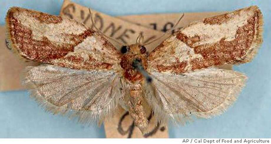 A light brown apple moth is shown In this undated photo provided by the California Department of Food and Agriculture. Agriculture officials are scrambling to contain the invasion of the voracious Australian pest spotted in the San Francisco Bay area in February 2007. (AP Photo/California Department of Food and Agriculture) Ran on: 04-14-2007  The light brown apple moth is small, with a wingspan of less than an inch.  ALSO Ran on: 05-04-2007  The light brown apple moth is increasing its presence in California, to the dismay of many. BEST QUALITY Photo: Cal Dept Of Food And Agriculture
