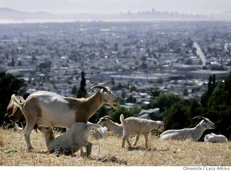 A baby nurses from its mother as they overlook the city in the Oakland hill, Wednesday May 23, 2007, in Oakland, Ca. Wilson Vilchez watches over the remaining goats on the hills overlooking Oakland, Wednesday May 23, 2007, in Oakland,Ca . Tuesday morning 15 of the goats were killed by gunshot. (Lacy Atkins /San Francisco Chronicle) MANDATORY CREDITFOR PHOTGRAPHER AND SAN FRANCISCO CHRONICLE/NO SALES-MAGS OUT Photo: Lacy Atkins