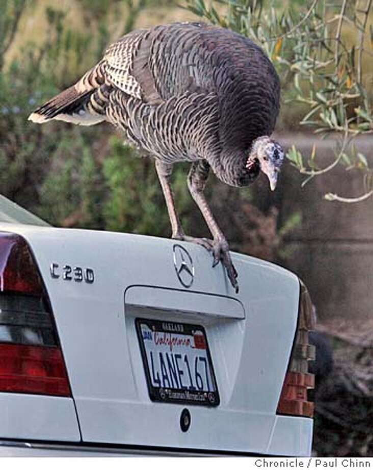 turkey24_117_pc.jpg  A wild turkey climbs aboard a Mercedes parked on La Loma Road in Berkeley, Calif. on 11/22/05.  PAUL CHINN/The Chronicle MANDATORY CREDIT FOR PHOTOG AND S.F. CHRONICLE/ - MAGS OUT Photo: PAUL CHINN