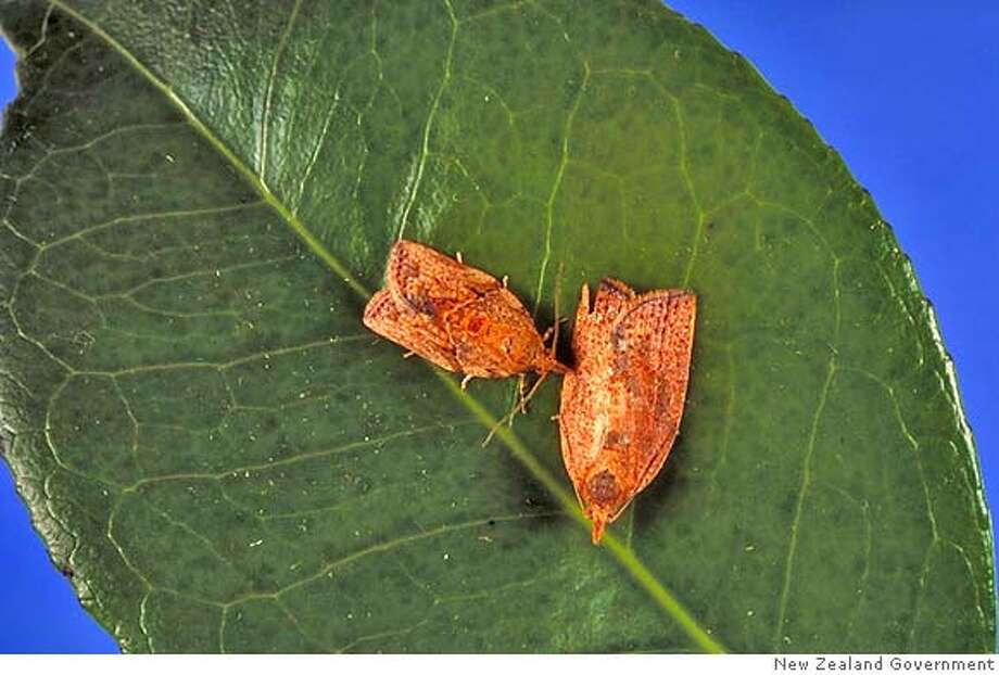 � Light Brown Apple Moth Credit: New Zealand Government Ran on: 04-14-2007 Leaves of more than 200 plant species other than apples are eaten by light brown apple moths. Photo: New Zealand Government