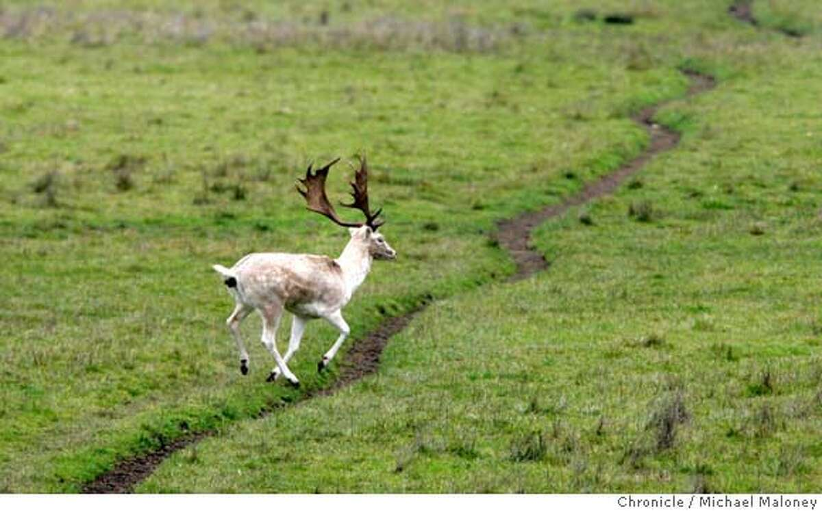 An adult male fallow deer bounds across the Rift Trail at Point Reyes National Seashore. In the 1940�s prior to the establishment of Point Reyes National Seashore, a local landowner purchased non-native deer from the SF zoo and released them on what is now parkland. The two exotic species, fallow and axis deer are native to the Mediterranean area and India and Sri Lanka. The park claims their rising numbers estimated to being over 1,000 are destroying the habitat, competing with and driving out the native black tail deer and tule elk. NPS policy on non-native animals requires their control or elimination when they pose a significant threat to park values. After years of research and public participation, the NPS has developed a plan to remove both species of non-native deer from the park. This has been met with both support and protest from locals. Photo taken on 1/31/07 by Michael Maloney / San Francisco Chronicle