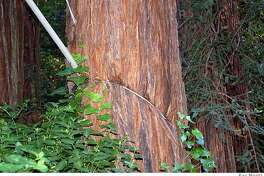 """The higher cable is correctly installed with a eye bolt. The lower """"girdling cable"""" has made this towering redwood a serious hazard."""