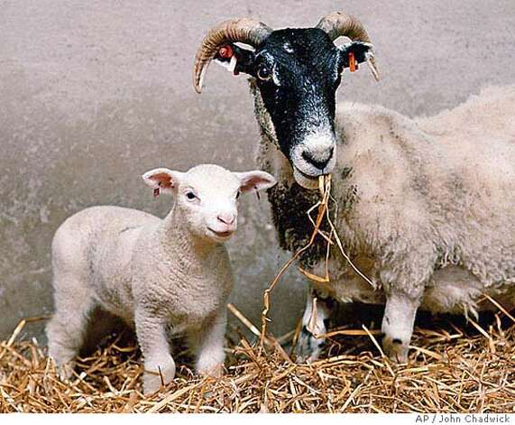an overview of the genetic replica of the sheep named dolly Chinese scientists clone monkeys using method that created dolly the sheep what would compel someone to spend $50,000 or more to create a genetic replica of.