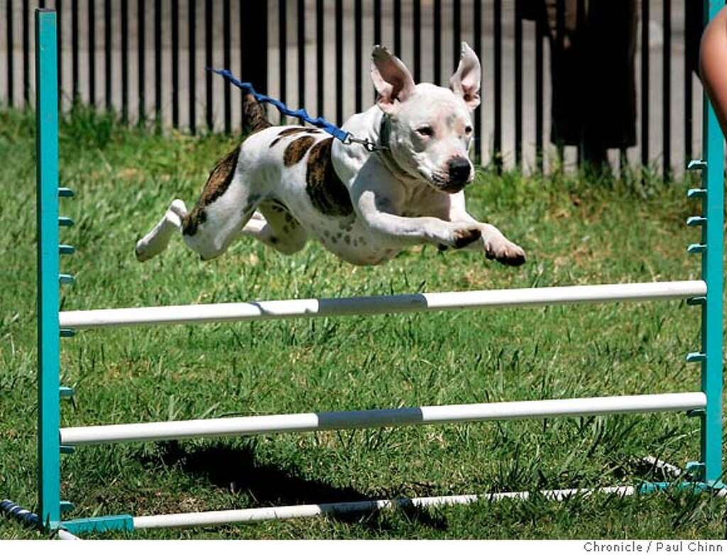 a pit bull primer there are two sides to the pit bull banning