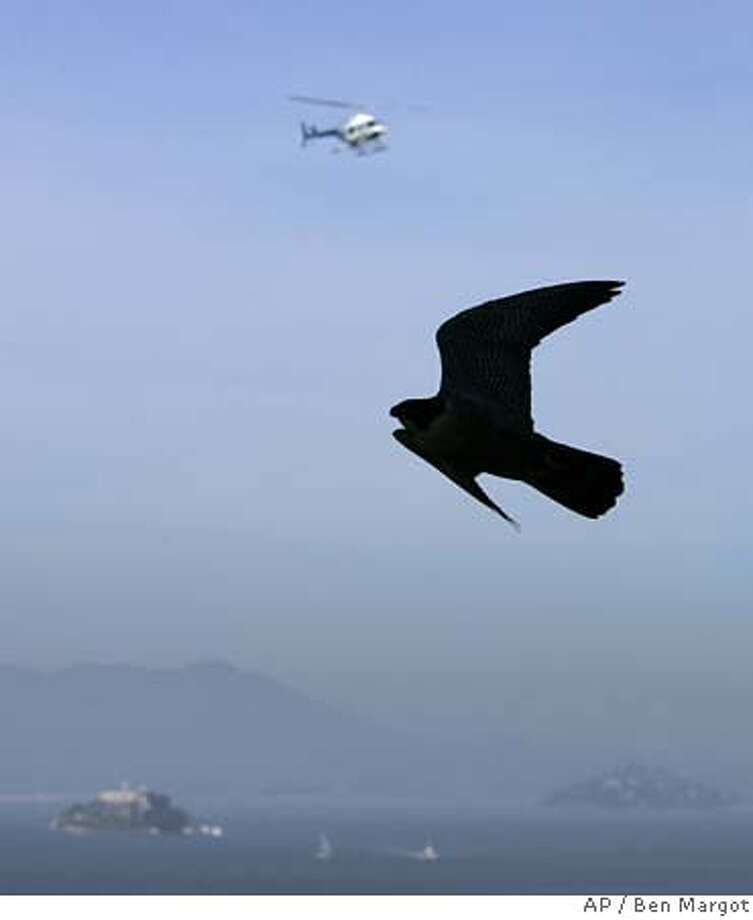 George the peregrine falcon soars over San Francisco Bay as scientists remove eggs laid by Gracie, George's mate, Friday, March 30, 2007, in San Francisco. Two peregrine falcons nesting on the San Francisco-Oakland Bay Bridge had their eggs taken from them today by scientists who said the fledglings would not survive if they hatched on the precarious perch. Researchers said the baby birds would either drown or get run over when they attempted their first flight from the site on the bridge's central anchorage where the parents chose to lay the eggs. Biologists at the University of California, Santa Cruz plan to incubate the eggs and raise the baby falcons until they are ready to return to the wild. Island at lower left is Alcatraz Island. (AP Photo/Ben Margot) Photo: Ben Margot