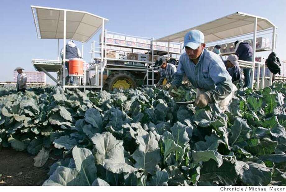 westlands_206_mac.jpg Central Valley Broccoli still being harvested near Mendota, Ca. Water in California is increasingly controlled by Central Valley agricultural interests, most specifically Westlands Water District--at 600,000 acres, the biggest irrigation district in the country. Led by its extremely competent and gimlet-eyed manager, Tom Birmingham, Westlands has become the 800 pound gorilla in California's water wars. In the past 5 years, Birmingham has turned the state's water politics clock back five decades, away from cooperative planning among cities, environmentalists and farmers. 10/19/05 in Mendota, {state.} Michael Macor / San Francisco Chronicle Mandatory Credit for Photographer and San Francisco Chronicle/ - Magazine Out Photo: Michael Macor