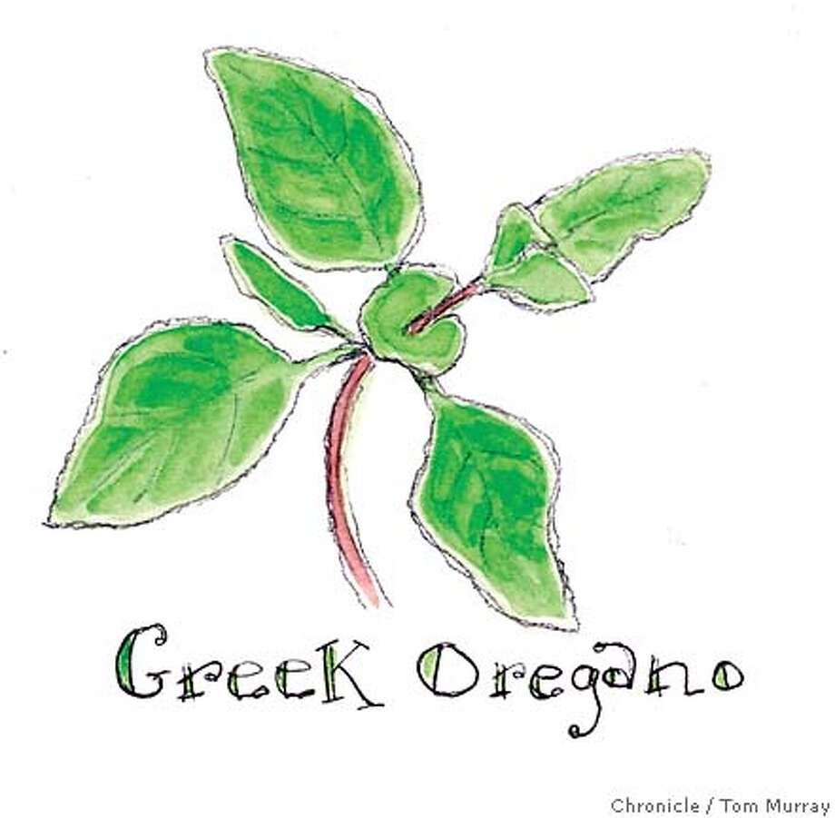 Greek Oregano. Chronicle illustration by Tom Murray