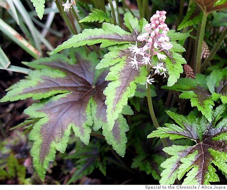 Tiarella(Tiarella trifoliata)