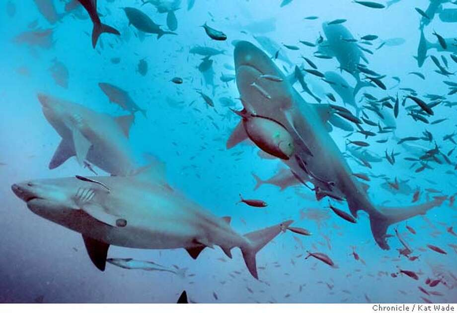 Bull sharks averaging 10 feet long and weighing up to 500 pounds each at 105 feet beneath the surface in Fiji, from a trip with Shark Diving International, in Alameda. Chronicle photo by Kat Wade