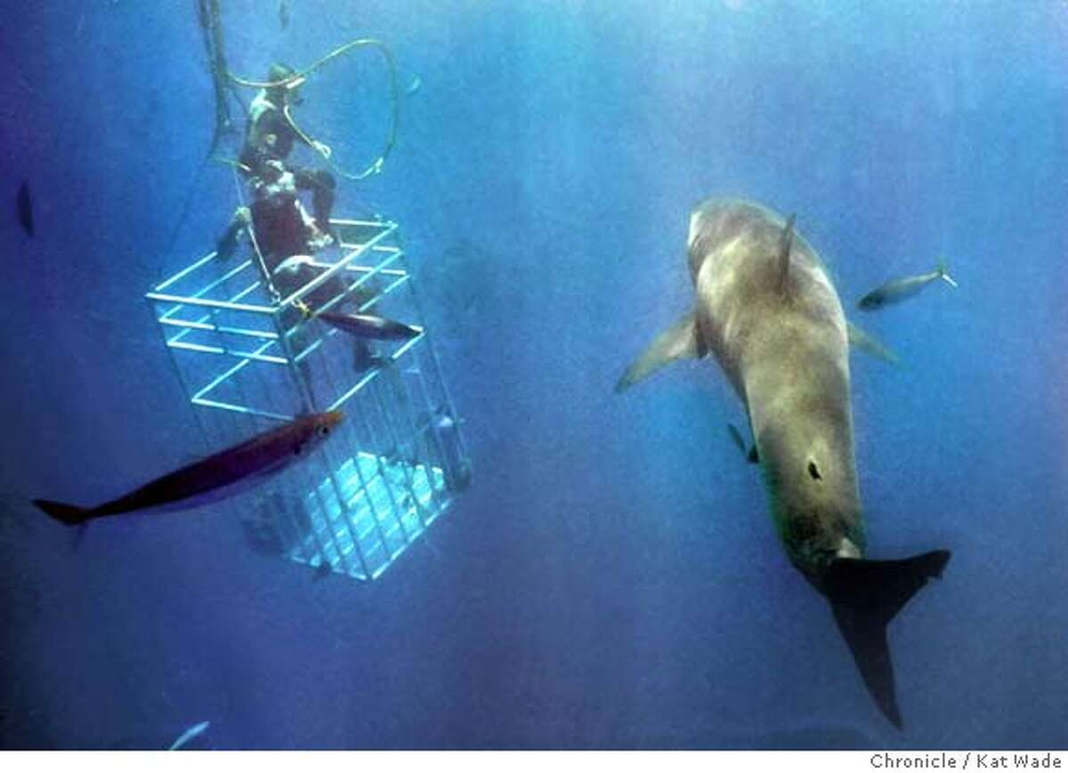 Marine biologist Shark Davis acts as a safety diver for a close encounter with a 16-foot great white shark off Isla de Guadalupe, Mexico, with Great White Adventures from Alameda. Chronicle photo by Kat Wade