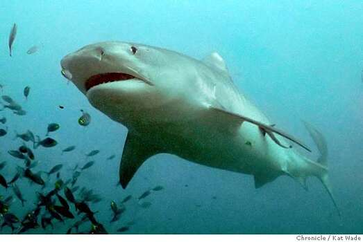 Tiger sharks are less common in Texas, but known for being aggressive. Photo: Kat Wade
