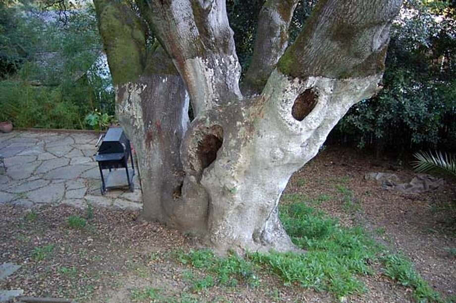 Liming your oak trees won�t hurt them but there is no evidence it will do anything else for them but make them ugly. Photo: Handout