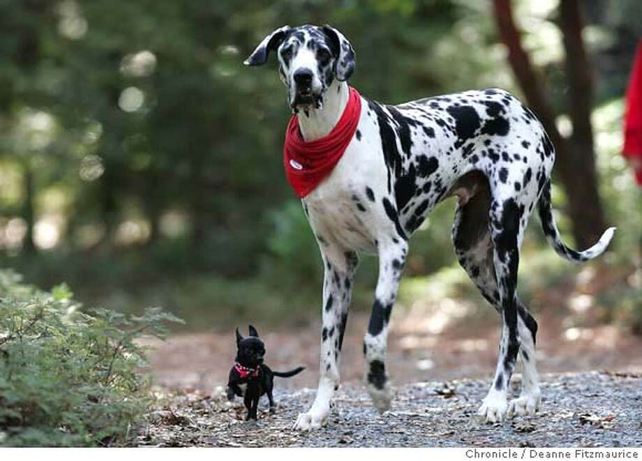"Gibson (R), a Great Dane who is the world's tallest dog at 7'2"" (2.18 metres) according to the Guinness World Records, stands with his friend Zoie, a 7.5"" (19.05cm) Chihuahua, in this undated handout photograph. REUTERS/Deanne Fitzmaurice/Handout (UNITED STATES). EDITORIAL USE ONLY. NOT FOR SALE FOR MARKETING OR ADVERTISING CAMPAIGNS. NO ARCHIVES. NO SALES. EUO NARCH NOSALES Photo: HO"