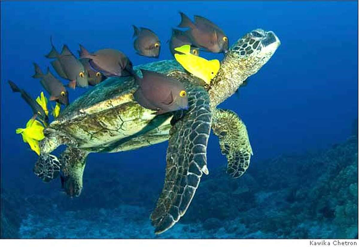 Kawika did a one-week live-aboard dive trip in Hawaii over New Years, and hadn't much of anything doing five long dives a day. The last dive of the day was at a turtle cleaning station, and he hit the jack pot. You can just hear the turtle saying