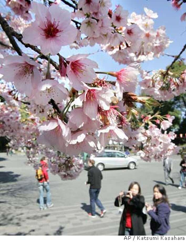 Kan-zakura, or winter-blossoming cherry trees, are in full bloom, more than a week earlier than usual, at Tokyo's Ueno Park Thursday, March 8, 2007. Winter is under threat in many parts of Asia, and most scientists say global climate change is the cause. (AP Photo/Katsumi Kasahara) A MARCH 8, 2007 PHOTO Photo: Katsumi Kasahara