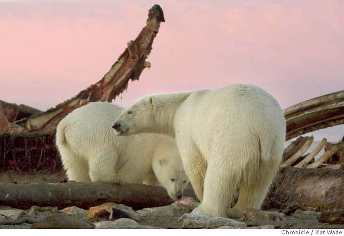 GLOBALWARM_ALASKA_3312_KW.jpg On 9/13/05 in Kaktovik AK as the sun sets on Barter Island a mother Polar Bear and her two year old cub feed on the leftover carcasses of bowhead whales. For hundreds of years the bears have come during whale hunting season in a simbiotic relationship with the Inupiat Eskimos who are a subsistance hunting village. Kat Wade/The Chronicle Ran on: 01-15-2006 A mother polar bear and her 2-year-old cub feed on a bowhead whale carcass left behind on a spit of sand extending from Barter Island on Alaskas northern coast. Ran on: 01-15-2006 A mother polar bear and her 2-year-old cub feed on a bowhead whale carcass left behind on a spit of sand extending from Barter Island on Alaskas northern coast. Ran on: 01-15-2006 MANDATORY CREDIT FOR PHOTOG AND SF CHRONICLE/NO SALES-MAGS OUT