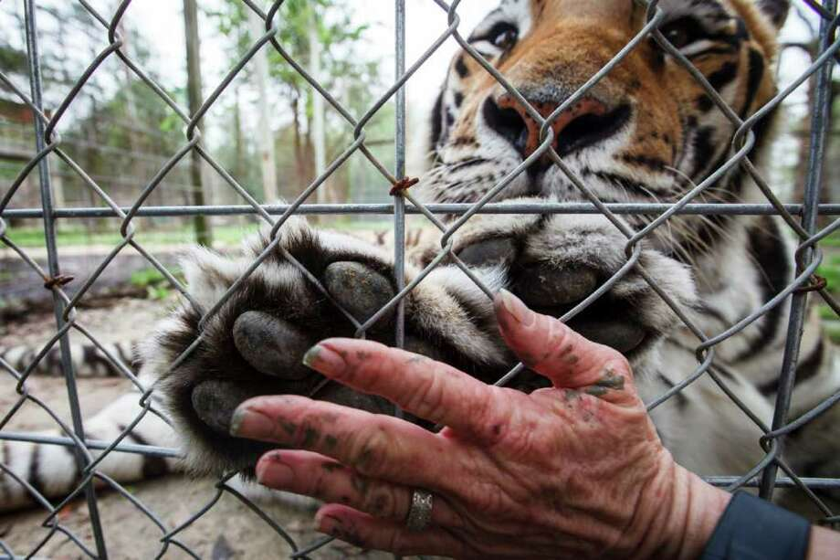 Debora Horner puts her hand up to Shambola's, a 6-year-old Siberian Tiger, at the Exotic Cat Refuge and Wildlife Orphanage, Wednesday, March 14, 2012, in Kirbyville.  Shambola is the largest tiger at the Refuge, weighing more than 600 lbs and suffers from having only one functional lung. Photo: Michael Paulsen, Houston Chronicle / © 2012 Houston Chronicle