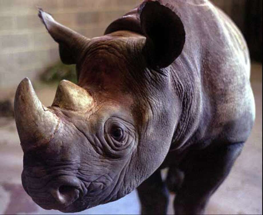 An unnamed rare 20-month-old male black rhinoceros looks around at his new surroundings at the Little Rock Zoo, in Little Rock, Ark., in this Nov. 26, 1996 file photo. Photo: CHRIS OCKEN, Wire / AP