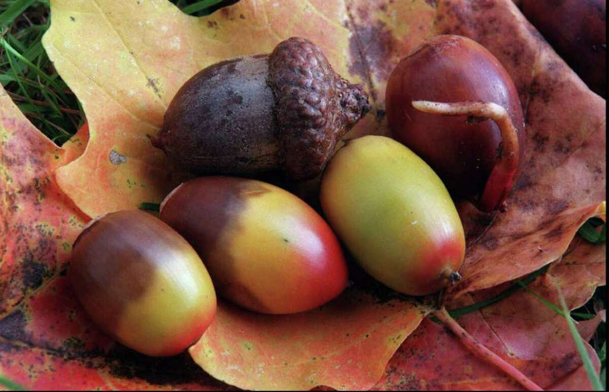 Acorn varieties are shown gathered in the Delaware Watergap National recreation area in Pahaquarry, N.J., Wednesday, Oct. 7, 1998. (AP Photo/Star-Ledger, Jerry McCrea)