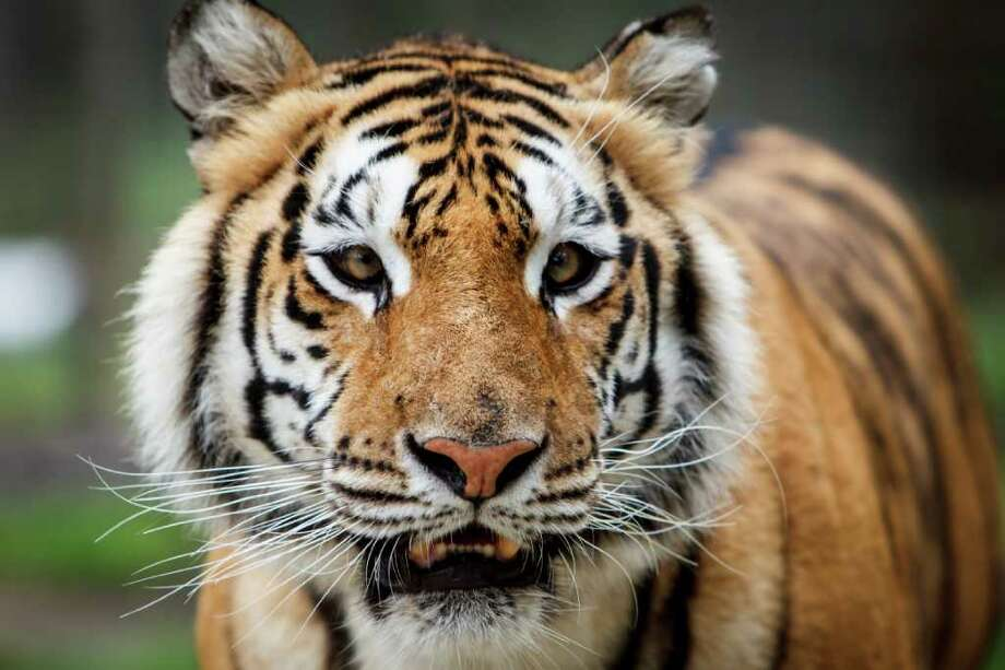 Siberian Tiger Photo: Michael Paulsen / © 2012 Houston Chronicle