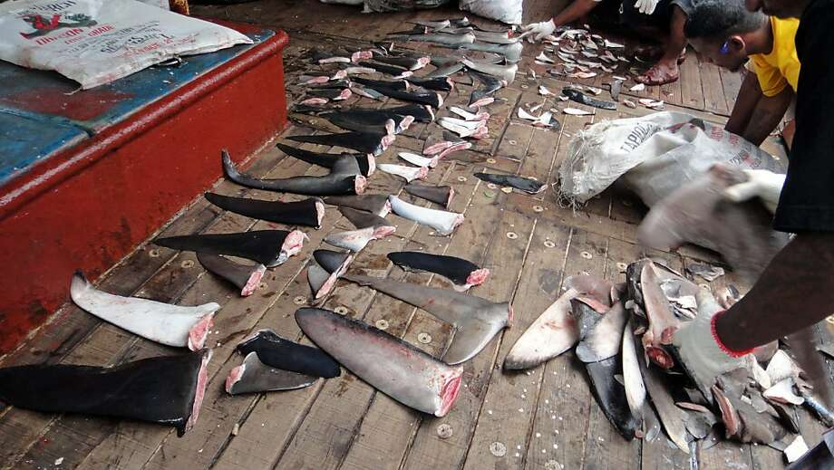 This photo taken on December 1, 2011 shows Marshall Islands law enforcement personnel on a longline fishing vessel sorting through hundreds of kilograms of confiscated shark fins, in the Marshall Islands territory's waters.  The Marshall Islands has fined a Japanese-operated fishing vessel 125,000 USD for violating a ban on shark fishing, officials said, in the first levy of its kind in the territory's waters. The Marshall Islands Marine Resources Authority said the fine was the first imposed since the introduction of a ban on trading shark fins across its vast waters late last year.      AFP PHOTO / GIFF JOHNSON (Photo credit should read GIFF JOHNSON/AFP/Getty Images) Photo: Giff Johnson, AFP/Getty Images
