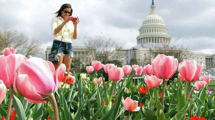 WASHINGTON, DC - MARCH 19:  Elisa Timmerman of Cincinnati Ohio stops to take a picture of flowers in full bloom in front of the U.S. Capitol on March 19, 2012 in Washington, DC. Unseasonably warm weather has caused Washington's spring flowers and the famous cherry blossoms to bloom early.