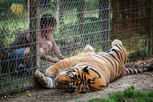 Debora Horner rubs the belly of Shambola, a 6-year-old Siberian Tiger, at the Exotic Cat Refuge and Wildlife Orphanage, Wednesday, March 14, 2012, in Kirbyville.  Shambola is the largest tiger at the Refuge, weighing more than 600 lbs and suffers from having only one functional lung.  ( Michael Paulsen / Houston Chronicle ) Photo: Michael Paulsen, Staff / © 2012 Houston Chronicle