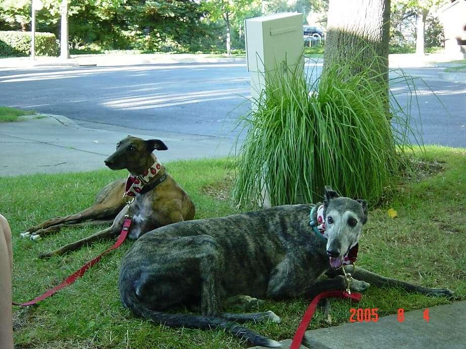 Julia Child, the gray-colored greyhound, was a rescue dog for Glenn and Nonie Plizga. Photo: Vida Molinaro