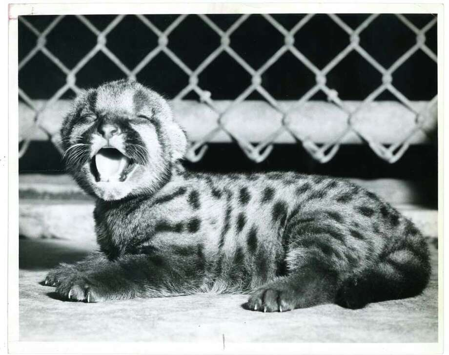 UNKNOWN DATE - UH cougar mascot Shasta I as a cub.   HOUCHRON CAPTION (09/01/1963): The University of Houston's first cougar mascot, Shasta I, now 17, has retired to Hermann Park Zoo since the picture at left was made. / handout