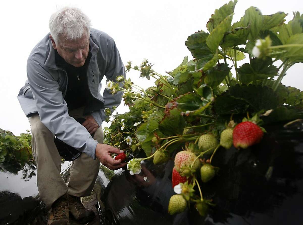 Jim Cochran, president of Swanton Berry Farms, inspects the crop of one of the strawberry fields at the farm in Davenport, Calif., on Tuesday, May 25, 2010. The state Department of Pesticide Regulation has proposed methyl iodide for use as a pesticide despite health concerns, especially for pregnant women. As a certified organic grower, Swanton will not use methyl iodide even if it becomes available.